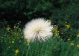 dandelion - 173783387