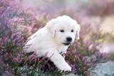 adorable golden retriever puppy outdoors