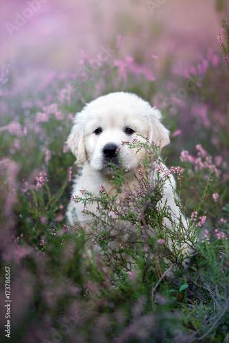 golden retriever puppy sitting on a heath field