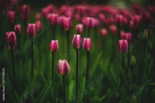 Fotobehang Tulpen flowers