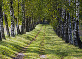 View though the trees of a birch alley
