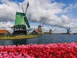 Windmills and flowers in Netherlands - 173792947