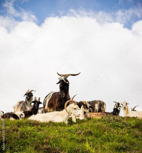 Chèvre montagne Pyrénées France Poster