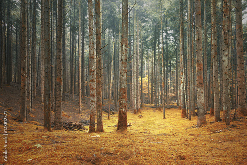 Beautiful dreamy conifer fairytale forest. Color filter effect used.