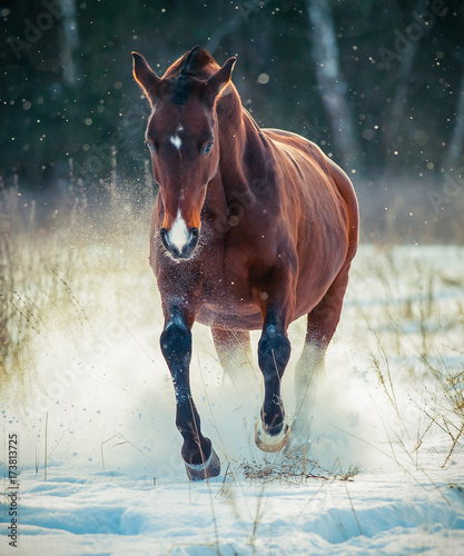 Bay stallion running in snow front view