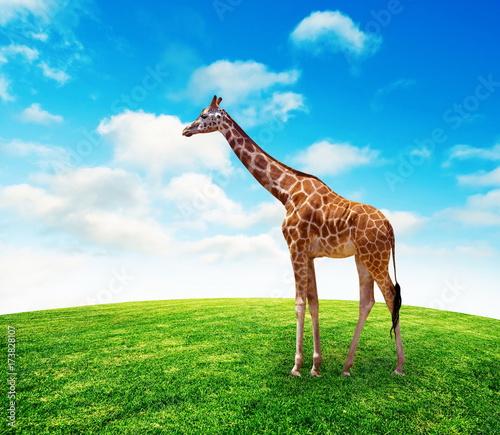 Giraffe on summer grass lawn with sky