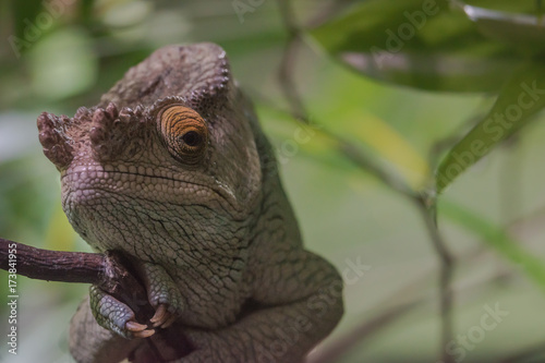 Fotobehang Kameleon Parsons Chameleon sits on its branch.