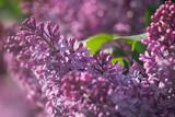 Цветы Сирени - 173851529