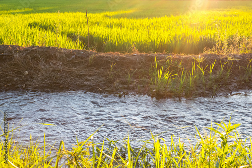 Foto op Aluminium Rijstvelden Thai agricuture rice growing farm with irrigation traditional small canal beside the farm