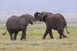 Afrikanische Elefanten (Loxodonta africana), Amboseli Nationalpark, Kenia, Ostafrika