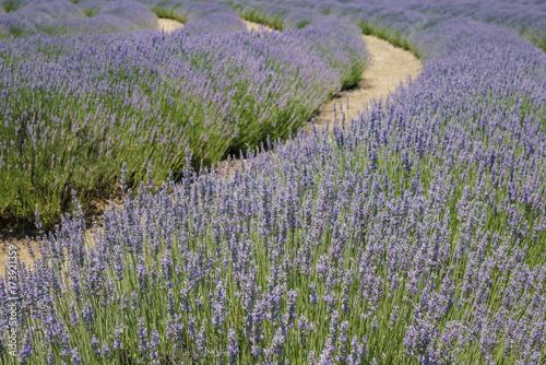 Foto op Aluminium Lavendel Lavender Festival at 123 Farm