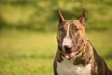 le portrait d'un profil de chien de race bull terrier avec un fond flou
