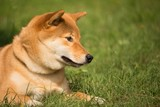 un chien shiba inu couché dans l'herbre regarde en bas avec un air mignon
