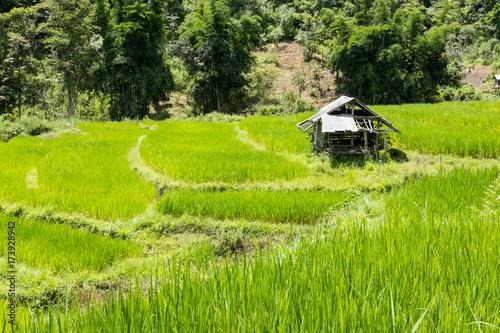 Papiers peints Les champs de riz Rice field on terrace in Chiangmai, Thailand. natural landscape of rice farm. cultivation, agriculture