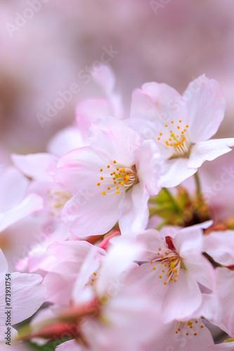 Deurstickers Purper 桜の花