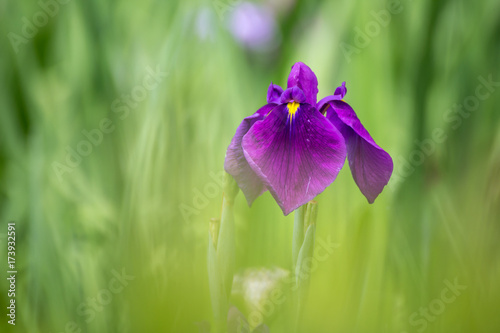 Fotobehang Iris 花菖蒲