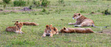 Lioness with her cubs in the grass on the savanna - 173933551
