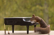squirrel standing behind piano