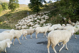 Sheep crossing a road - 173947358