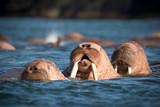 Walrus at Dezneva Bay, Russian far East - 173949945