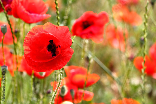 Tuinposter Rood Flowers Red poppies blossom on wild field. Beautiful field red poppies with selective focus. Red poppies in soft light. Opium poppy. Natural drugs. Glade of red poppies. Lonely poppy. Soft focus blur