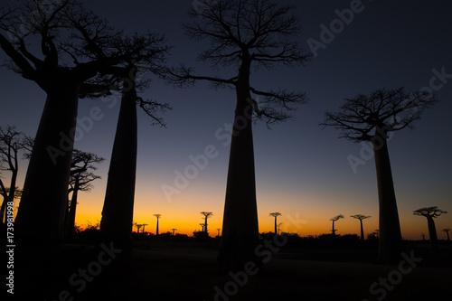 Foto op Aluminium Baobab Baobab Baeume im Sonnenuntergang