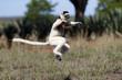 Leinwanddruck Bild - Larvensifaka huepft ueber das Grasland