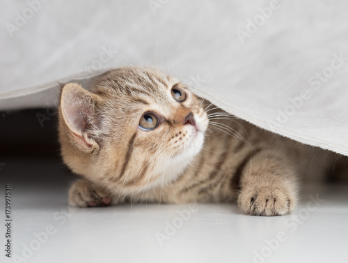 Funny cat looking up from under curtain
