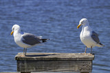 Sly Look from a Herring Gull - 174002964
