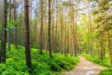 Wanderweg durch einen Kiefernwald - 174008564