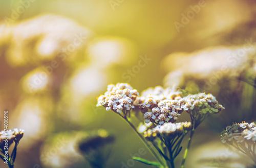 Wild meadow flora close up, ecology nature macro