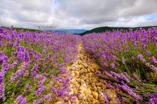 Spoed canvasdoek 2cm dik Lavendel Champ de lavande. Ciel nuageaux. Provence. France.