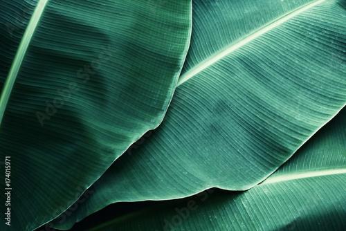 Fototapeta Beautiful tropical banana leaf texture background