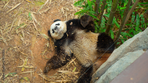 Fotobehang Panda Chinese Giant Panda Relaxing