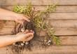 Hands gardener divide the bulbs of lilies Asiatic hybrids