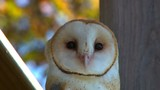 Close up of barn owl with focus pull. - 174046116