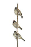 three birds sparrows sitting on a branch and looking into the distance on a white isolated background