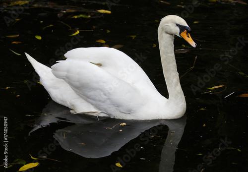 Fotobehang White Mute Swn Swimming