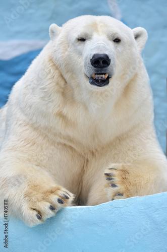 In de dag Antarctica Белый медведь.