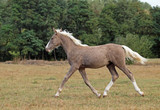 The beautiful foal of rare silvery color trots across the field - 174061158