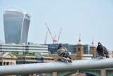 Two pigeons watching skycraper