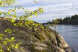 Flowering birch on the background of coastal rocks.