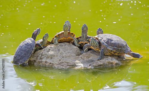 Fotobehang Schildpad tortoises on a stone