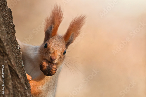 Squirrel peeks out from behind a tree with a nut in his mouth. - 174075148