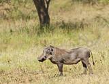 Warthog - 174096196