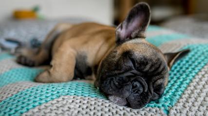 French Bulldog sleeping pillow body