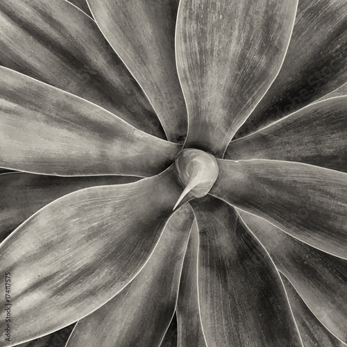 Agave Cactus from Above - 174117575