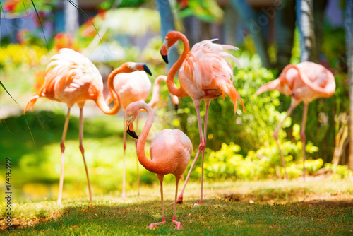 In de dag Geel The pink Caribbean flamingo goes on water. Pink flamingo goes on a swamp