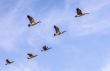 swarm of goose flying - 174149599