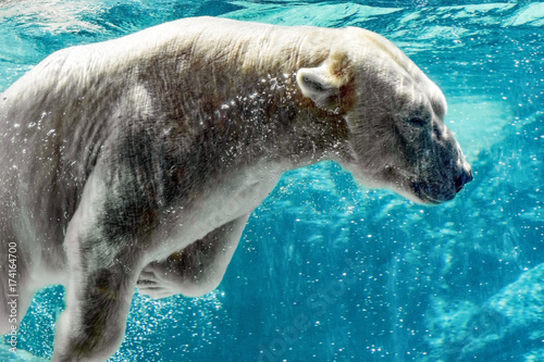 Canvas Ijsbeer Polar bear underwater